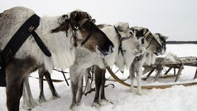 Reindeers on the national holiday on Yamal stock video footage