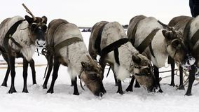Reindeers on the national holiday on Yamal eating snow stock video
