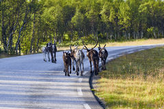 Reindeers in natural environment, Roros region stock image