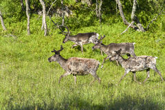 Reindeers in natural environment, Roros region royalty free stock photo