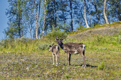 Reindeers in natural environment, Roros region royalty free stock photos