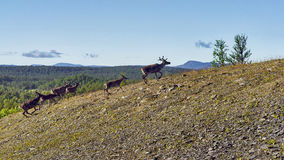 Reindeers in natural environment, Roros region stock images