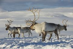 Reindeers in natural environment, Tromso region, Northern Norway.  Royalty Free Stock Photography