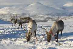 Reindeers in natural environment, Tromso region, Northern Norway Stock Images