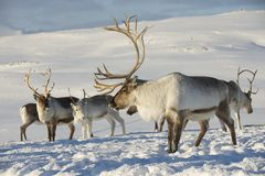 Reindeers in natural environment, Tromso region, Northern Norway Royalty Free Stock Images