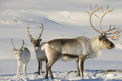 Reindeers in natural environment, Tromso region, Northern Norway Royalty Free Stock Photo