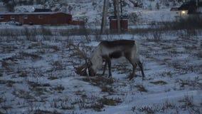 Reindeers deer in natural environment, Tromso region, Northern Norway. Reindeers in natural environment, Tromso region, Northern Norway stock video