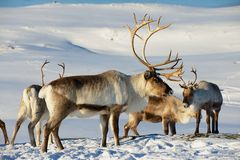 Reindeers in natural environment in Tromso region, Northern Norway. stock image