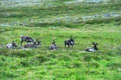 Reindeers near Nordkapp Cape, Norway Royalty Free Stock Photo