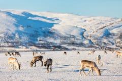 Reindeers in Northern Norway Stock Images