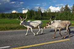 Reindeers in Norway Royalty Free Stock Image