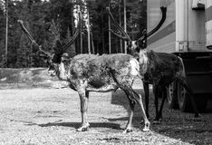 Reindeers at the parking lot black and white. Reindeers standing at the parking lot  in Lapland, Finland black and white Royalty Free Stock Photos