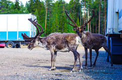 Reindeers at the parking lot next to trucks. Reindeers standing at the parking lot next to the trucks in Lapland, Finland Royalty Free Stock Images