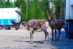 Reindeers at the parking lot. Reindeers standing at the parking lot  in Lapland, Finland Royalty Free Stock Photos