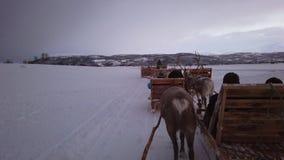Reindeers pulling sleighs in winter Sami camp. Reindeers pulling sleighs with tourists in snow, Tromso region, Northern Norway stock video footage