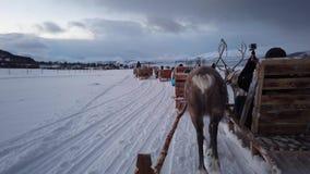 Reindeers pulling sleighs in winter Sami camp. Reindeers pulling sleighs with tourists in snow, Tromso region, Northern Norway stock video