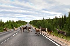 Reindeers on the road. Fearless reindeer family walking and jumping around in the middle of the road in Lapland royalty free stock photo