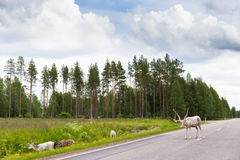 Reindeers on the road Stock Photos