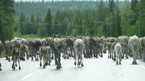 Reindeers on the road Royalty Free Stock Photos