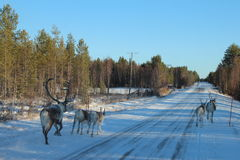 Reindeers running before car Royalty Free Stock Photo