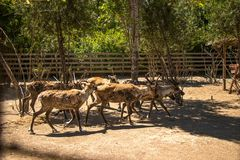 Reindeers running at zoo royalty free stock photos