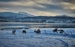 Reindeers in snow, Norway royalty free stock photos