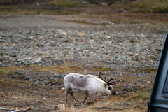 Reindeers in svalbard. Reindeers walking in the svalbard islands