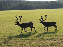 Reindeers on swedish fjeld Royalty Free Stock Photos
