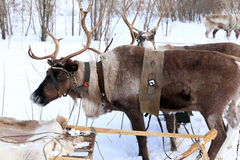 Reindeers in a team close up Stock Images