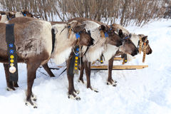 Reindeers in a team Stock Image
