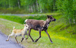 Reindeers together running from road. Reindeers together running away from the road in Lapland, Finland Royalty Free Stock Images