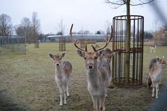 Reindeers Royalty Free Stock Photos