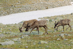 Reindeers in tundra Royalty Free Stock Image