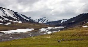 Reindeers in Tundra in Svalbard Stock Photos
