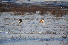 Reindeers. View on reindeers in an arctic landscape Royalty Free Stock Photography