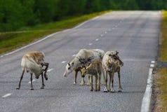 Reindeers walking around Stock Photo