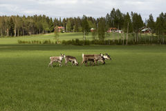 Reindeers walking Royalty Free Stock Image