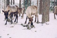 Reindeers in a winter forest in Lapland. Finland Royalty Free Stock Photography