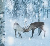 Reindeers in a winter landscape.  Royalty Free Stock Image