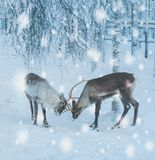 Reindeers in a winter landscape.  Stock Photography