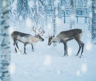 Reindeers in a winter landscape.  Stock Photos
