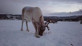Reindeers in winter Sami camp. Herd of reindeers looking for food in snow, Tromso region, Northern Norway stock video
