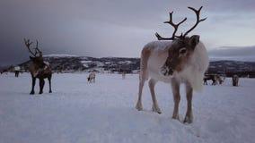 Reindeers in winter sami camp. Herd of reindeers looking for food in snow, Tromso region, Northern Norway stock video footage