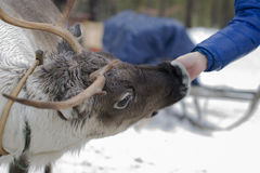 Reindeers in the winter. The reindeers tamed and used by the person Royalty Free Stock Images