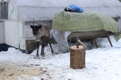 Reindeers in the winter. The reindeers tamed and used by the person Stock Images