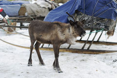 Reindeers in the winter. The reindeers tamed and used by the person Royalty Free Stock Photo