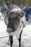 Reindeers in the winter. The reindeers tamed and used by the person Stock Photography