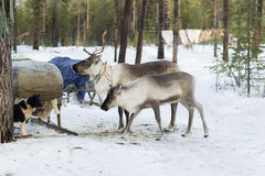 Reindeers in the winter. The reindeers tamed and used by the person Royalty Free Stock Photos