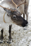 Reindeers in the winter. The reindeers tamed and used by the person Stock Photo