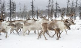 Reindeers. Winter. Yakutia. stock photography